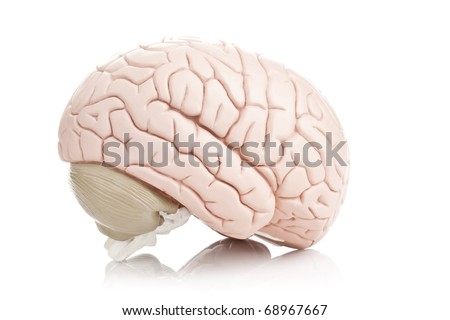 Human brain model on white background - stock photo