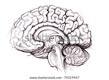 Human Brain Sagittal View Medical Sketchy Stock Illustration ...