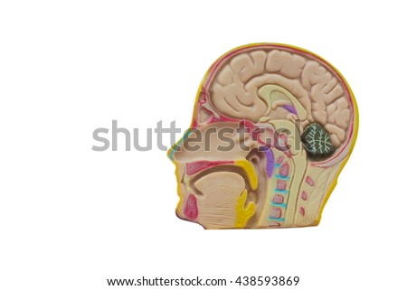 Human brain system isolated on white background  - stock photo