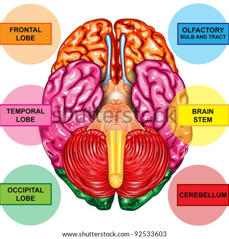 Human brain underside view - stock photo