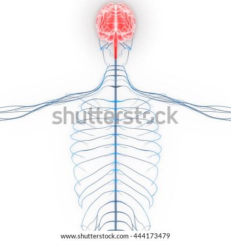 Human Brain with Nerves Anatomy. 3D - stock photo