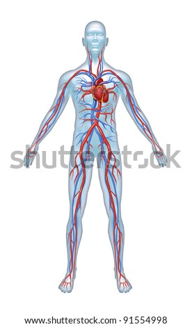 Human Cardiovascular heart system with heart anatomy from a healthy body isolated on white background as a medical health care symbol of an inner vascular organ as a medical chart. - stock photo