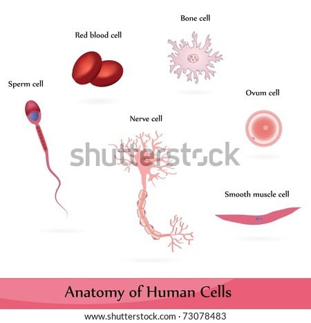 Diagram Of Smooth Muscle And Sperm Cell - Auto Wiring Diagram Today •