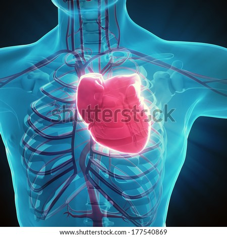 Human circulatory system - medical illustration - stock photo
