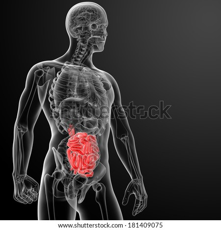 Human digestive system small intestine - side view - stock photo