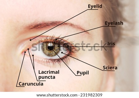 Human eye anatomy diagram - medical description.  - stock photo