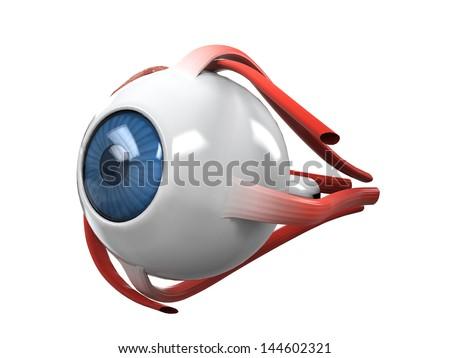 Human Eye Dissection Anatomy - stock photo