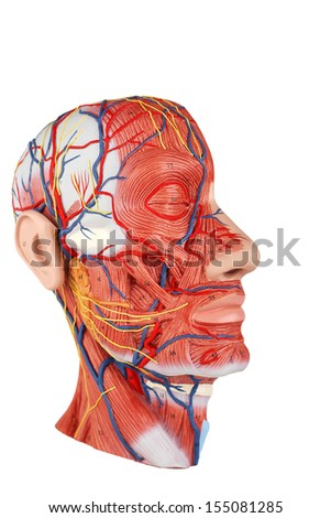 Human Face Anatomy - stock photo