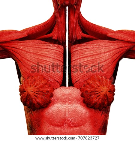 Human Female Body Organs Mammary Glands Stock Illustration 707823727 ...