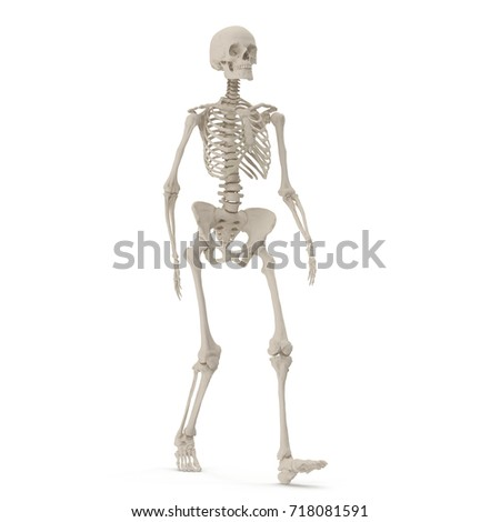 human skeleton stock vector 273316796 - shutterstock, Skeleton