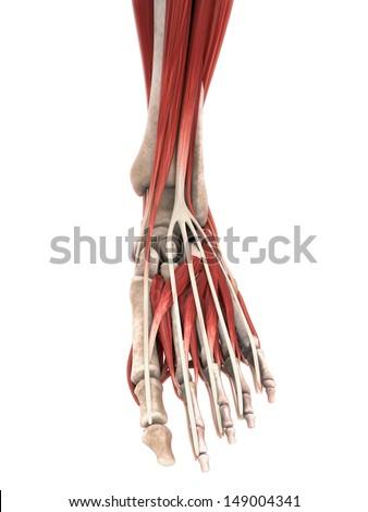 Human Foot Muscles Anatomy - stock photo