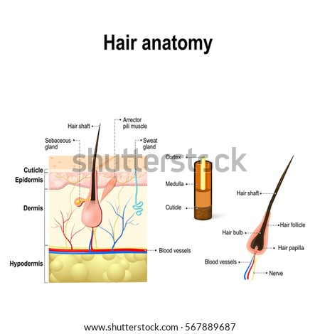 Human Hair Anatomy Diagram Hair Follicle Stock ...