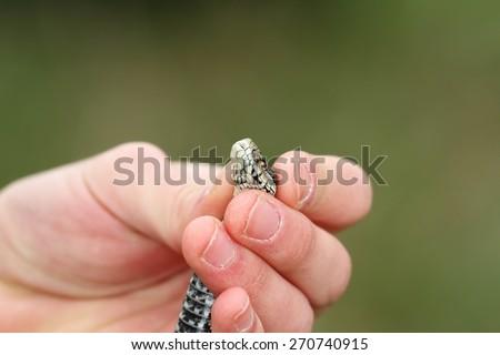 human hand holding a venomous snake ( Vipera ursinii rakosiensis, meadow adder ) - stock photo