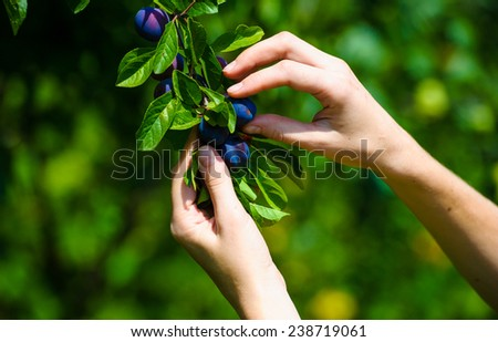 human hand holding plum - stock photo