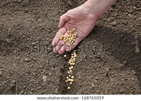 Human hand holding soybean, sowing time in field - stock photo