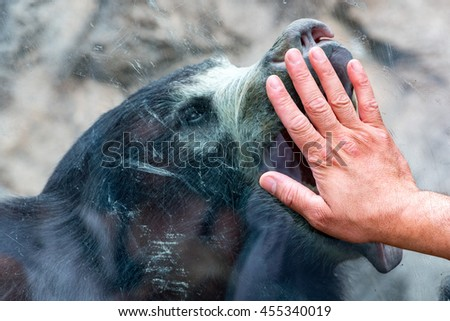 human hand on glass with Sloth black asian bear portrait - stock photo