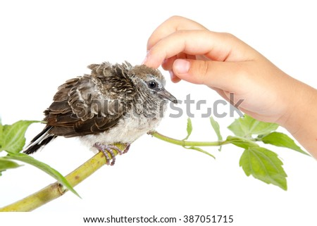 Human Hand Petting a Small Cuckoo isolated on White Background - stock photo