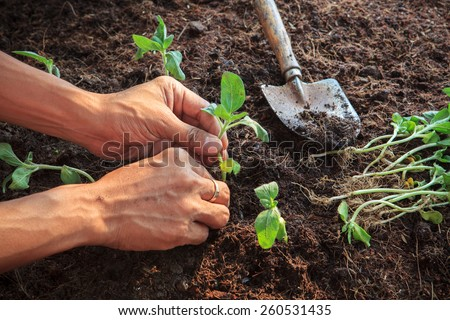 human hand planting young sunflowers plant on dirt soil use for people activities in gardening and nature topic - stock photo
