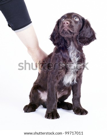 human hand teaching german wachtel puppy to sit down 3 month of age, isolated on white - stock photo