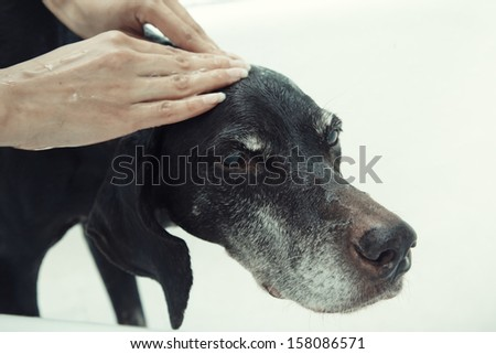 Human hand washing dog with soap - stock photo