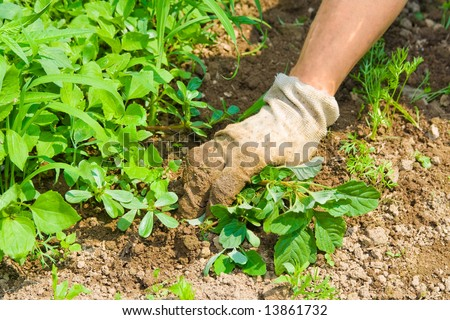 Human hand weeding garden and taking care for plants.
