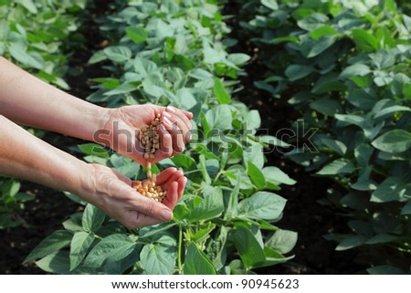 Human hand with soy seed and soy field - stock photo