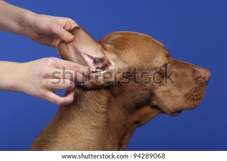 human hands cleaning the dog ear - stock photo