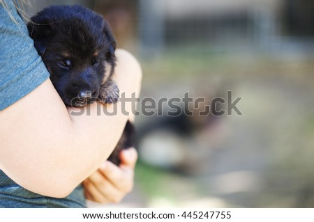 Human hands hold german shepherd puppy in natural environment