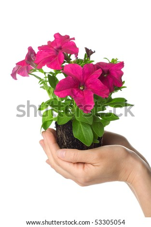 Human hands hold petunia grandiflora seedling - stock photo