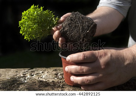 Human hands holding pot with a young basil plant