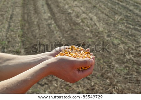 Human hands pouring grain corn after harvest