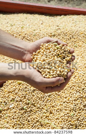 Human hands pouring soy beans after harvest - stock photo