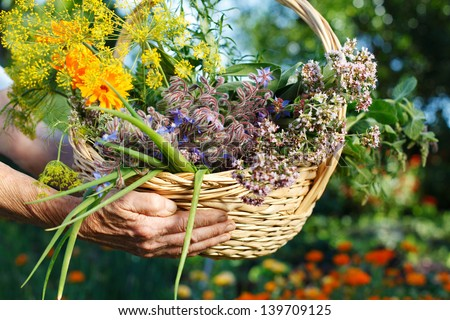 Human hands showing a basket with fresh organic herbs - stock photo