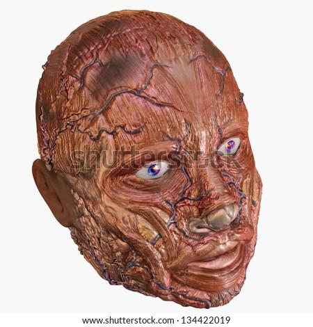 Human Head Muscle Anatomy - stock photo