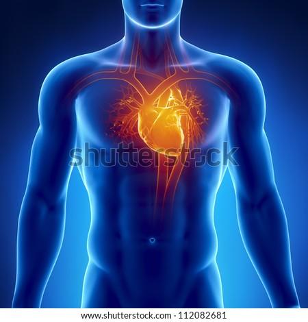 Human Heart Anatomy Stock Illustration 112082681 Shutterstock