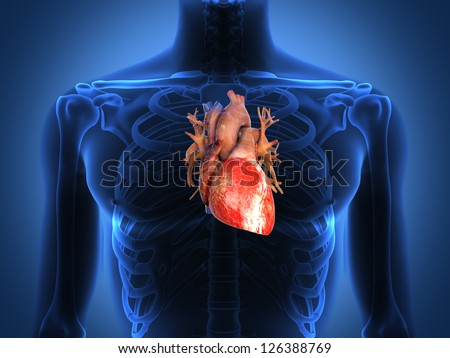 Human heart anatomy from a healthy body - stock photo