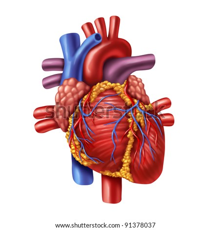 Human heart anatomy from a healthy body isolated on white background as a medical health care symbol of an inner cardiovascular organ. - stock photo
