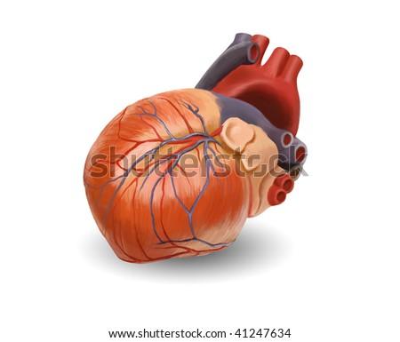 Human heart anatomy. Original hand painted illustration - keep path - stock photo