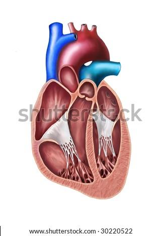 Human heart cross section. Original digital illustration. - stock photo