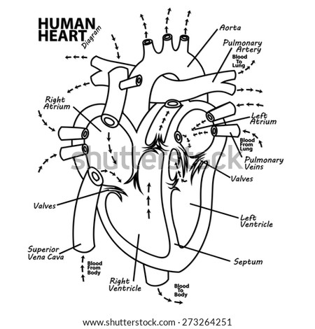 Human Heart Diagram Anatomy Stock Illustration 273264251 Shutterstock