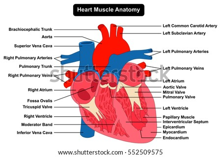pulmonary veins stock images, royalty-free images & vectors, Human Body