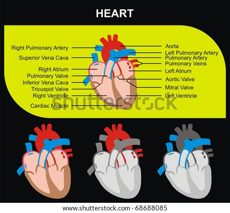 Human Heart Section Parts (Aorta, Right & Left Atrium & Ventricle, Pulmonary Artery, Tricuspid Aortic Mitral Valves, Cardiac Muscle, Superior & Inferior Vena Cava) Medical & Educational Use - stock photo