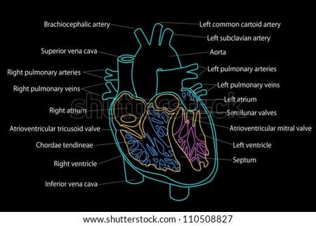 Human heart structure stock illustration 110508827 shutterstock human heart structure ccuart Images