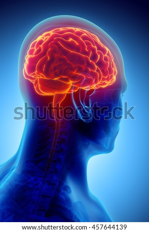 Human Internal Organic - Human Brain, 3D illustration medical concept.
