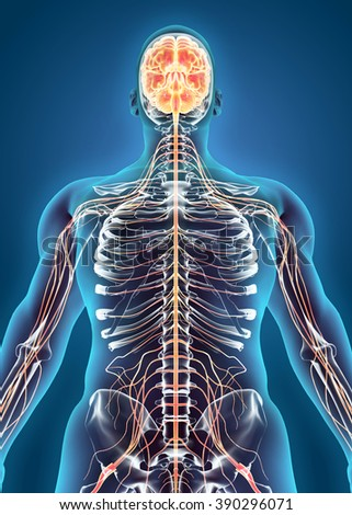 Human Internal System - Nervous system, medical concept. - stock photo