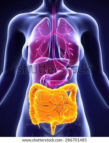 Human Intestine Anatomy - stock photo