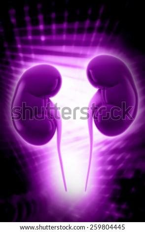 Human kidney structure - stock photo