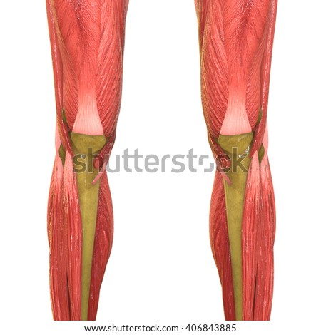 Human Knee Joints With Muscles. 3D - stock photo