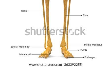 Human Leg joints - stock photo