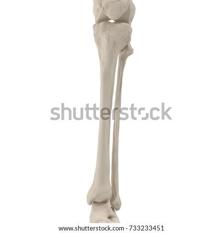 Human Legs Skeleton Bones On White Stock Illustration 733233451